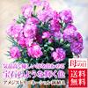 【母の日】【送料無料】アメジストカーネーション鉢植え5号【花鉢】【早割、早期割引】【4月30日まで早割中】