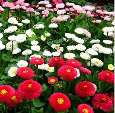 Carpet Series Mixed 400 Seeds Bellis