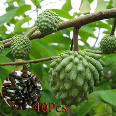 Happygo 40Pcs Annona Seed Bonsai Plants For Home Garden Rare Tropical Fruit  Seeds 100PCS Flower See