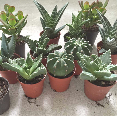 Qoo10 plants cactus tools gardening real plants cute succulents cactus for office home terrarium plants flowers gardening fandeluxe Gallery