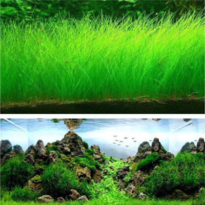 Fish Tank Aquarium Plant Seeds Aquatic Water Grass Decor Rock Lawn Garden  Foreground Plant