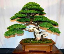 50pcs juniper seeds bonsai tree potted flowers office bonsai purify the air absorb harmful gases jun