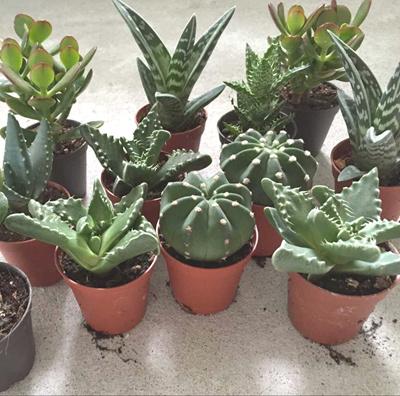 Qoo10 - Plants Cactus : Tools & Gardening