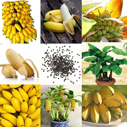 100Pcs Rare Dwarf small Banana Tree Mini Bonsai Fruit Exotic Green Garden Plants Home Decor