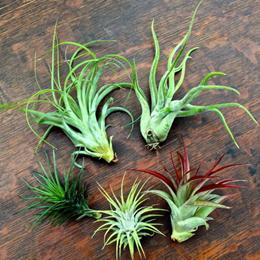 Exotic Air Plants Tillandsia Real - Assortment / Terrarium / Home Decoration / Flowers/ Christmas Gifts