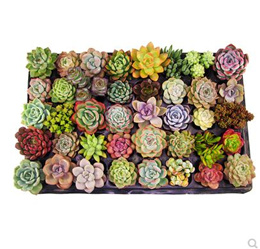 100 Pcs/bag Real Mini Succulent Cactus Seeds Rare Succulent Perennial Herb Plants Bonsai Pot Flower