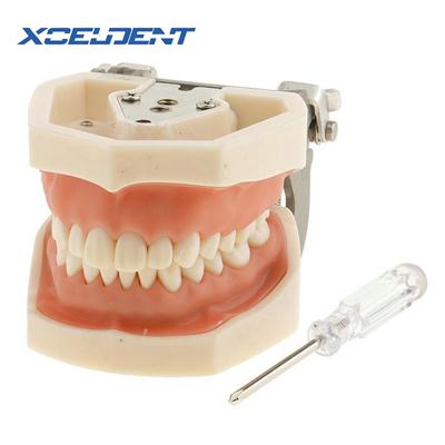 1pcs Soft Gum All Removable Dental Teeth Model 28pcs Teeth Dental Model for New Dentist Traning In T