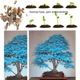 20pcs Blue Maple Seeds Chinese Rare Blue Bonsai Maple Tree Seeds Bonsai Plants Trees for Flower Pot