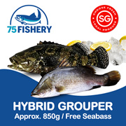 Hybrid Grouper approx 850g | FREE SEABASS | 75 fishery Sea Cage fish farm  Support local farmers