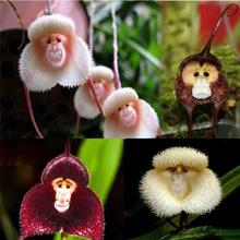 100pcs Strange Monkey Face Flower Plant Seeds Four Seasons Planting Mixed loading