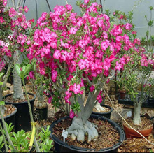 20 Particle/50 Particle Desert Rose Seeds Adenium Obesum Bonsai Flower Seeds