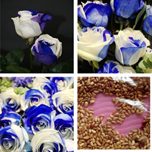 50pcs Blue And White Rose Seeds Mystic Flower Seed Perennial Garden Balcony