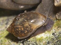 Freshwater Aquarium Snails. Feed on Algae fish food remaining and dead remaining.