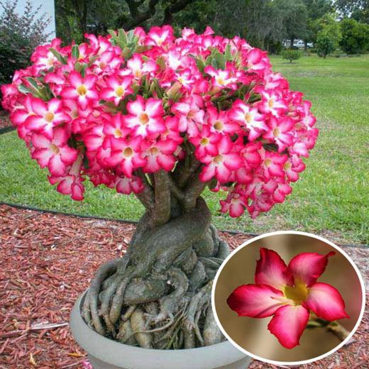 1 PCS Seeds Real Adenium Obesum Desert Rose Flower Plants Garden Succulent NEW Q