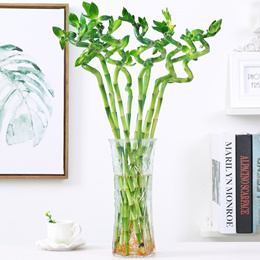 Rich bamboo guanyin water culture bamboo transfer bamboo flowers potted large leaves bamboo purifica